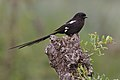 Magpie shrike, Urolestes melanoleucus, at Kruger National Park (44870513695).jpg