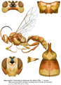 Magwengiella (=Listrocalus) nycthenerops (Heinrich, 1978).png