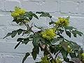 Mahonia aquifolium1.jpg