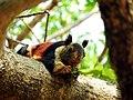 Malabar Giant Squirrel 3.jpg