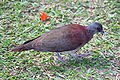 Malagasy Turtle Dove - Streptopelia picturata.jpg