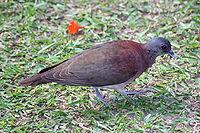 Malagasy Turtle Dove - Streptopelia picturata