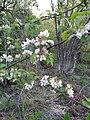 Malus sylvestris, Rosaceae.jpg