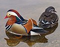 Mandarin ducks.jpg
