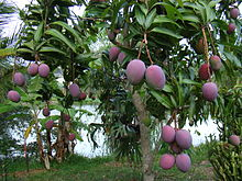 A tree full of 'Tommy Atkins' mangoes with a purplish color