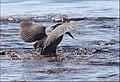Mangrovereiher jagt im Roten Meer.....IMG 1068BE.jpg