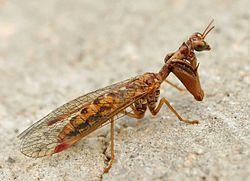 definition of mantispidae