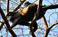 Mantled howler monkey (Alouatta palliata palliata).jpg