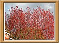 Maple in red - panoramio.jpg