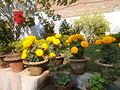 Marigold flowers.jpg