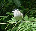 Marsh Tit Poecile palustris, Wyre Forest, Worcs.jpg