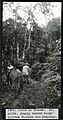 Mary Agnes Chases Field Work in Brazil, Image No. 1931. Serra da Gramma (sic). Dr. Rolfs, jungly bamboo slope between fazendo and Araponga. (6985375845).jpg