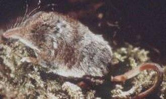 Sorex - Cinereus shrew (Sorex cinereus)
