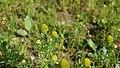Matricaria discoidea flower (08).jpg