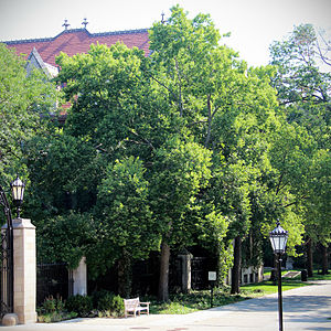 Celtis occidentalis - Hackberry tree on the campus of the University of Chicago