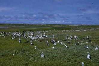 McKean Island - Colony of lesser frigatebirds on McKean Island