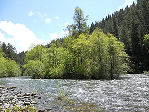 An island of dense, tall cottonwood trees amid the fast-flowing McKenzie