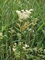 Meadowsweet (Filipendula ulmaria) - geograph.org.uk - 1143996.jpg