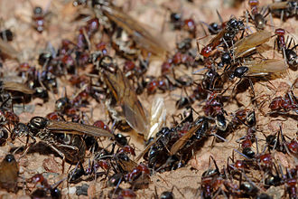 Ant - Meat eater ant nest during swarming
