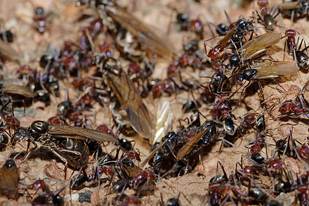 swarming ants with wings