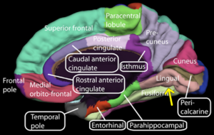 Lingual gyrus - Medial surface of right cerebral hemisphere. (Lingual gyrus visible at right.)