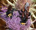 Megascolia maculata - Flickr - S. Rae.jpg