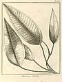 Melastoma cacatin Aublet 1775 pl 173.jpg