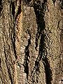 Melia azedarach écorce 170208.jpg