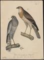 Melierax polyzonus - 1835 - Print - Iconographia Zoologica - Special Collections University of Amsterdam - UBA01 IZ18300175.tif