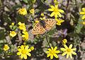 Melitaea trivia fascelis - Lesser Spotted Fritillary 05.jpg