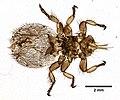 Melophagus ovinus (YPM IZ 099598).jpeg