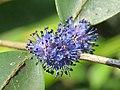 Memecylon umbellatum flowers at Peravoor (36).jpg