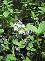 Menyanthes trifoliata001.jpg