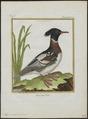 Mergus serrator - 1700-1880 - Print - Iconographia Zoologica - Special Collections University of Amsterdam - UBA01 IZ17700199.tif