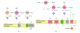 Anammox - Figure 4. Hypothetical metabolic pathways and reversed electron transport in the anammoxosome. (a) Anammox catabolism that uses nitrite as the electron acceptor for the creation of a proton motive force over the anammoxosomal membrane. (b) Proton motive force- driven reversed electron transport combines central catabolism with nitrate reductase (NAR) to generate ferredoxin for carbon dioxide reduction in the acetyl-CoA pathway. HAO, hydrazine oxidoreductase; HD, hydrazine dehydrogenase; HH, hydrazine hydrolase; NIR, nitrite oxidoreductase; Q, quinine. Light blue diamonds, cytochromes; blue arrows, reductions; pink arrows, oxidations.