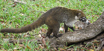 White-nosed coati MexicanCoati2.jpg