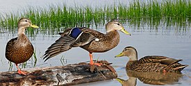Mexican Black Duck From The Crossley ID Guide Eastern Birds.jpg