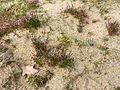 Mibora minima habitat.jpg