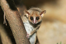 A tiny, mouse-like lemur clings to a nearly vertical branch while looking down with its large eyes.