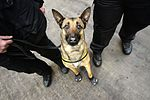 Military Working Dogs put to the test in Edinburgh MOD 45159598.jpg