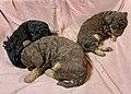 Miniature poodle puppies at three weeks sleeping (sovende, tre uker gamle valper av dvergpuddel) Norway 2021-04-19 IMG 7183.jpg