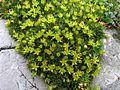 Minuartia sedoides PID1166-1.jpg