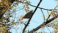 Mistle Thrush (Turdus viscivorus) (2).jpg