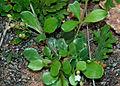 Mollugo pentaphylla is it with Selaginella bryopteris W3 IMG 3582.jpg