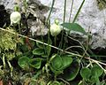 Moneses uniflora PID1584-3.jpg