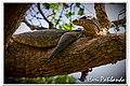 Monitor Lizard (3180009628).jpg