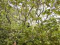 Mono capuchino, edo Bolívar.JPG