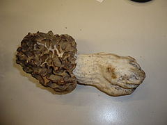 Morchella crassipes.jpg