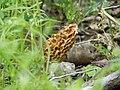Morel mushroom (6189023611).jpg
