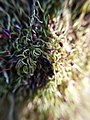 Moss spore macro shot.jpg
